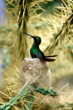 A hummingbird in its nest in a Cuban national park near Cienfuegos: Humming Birds, Animals, Humming-Bird, National Parks, Nests, Beautiful Birds, Cuban National, Hummingbirds