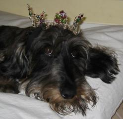 a Royal Wirehaired Dachshund! Schumman is the King of the Key West SPCA Fur Ball, and is wearing a crown made for him by K.T.: Angels Doxies, Wirehair Doxie, Royal Wirehaired, Dachshund 15, Standard Wirehaired, Amazing Dachshund, Adorable Doxies