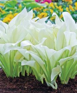 A white hosta, I never imagined! This Filigree Hosta Plant is perfect! #zulilyfinds: White Flower, White Hosta, Shade Plant, Filigree Hosta, Shade Garden, White Garden, Garden Hosta, Hosta Plants, Moon Garden