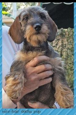 A wirehaired dachshund, like our Mr Budro!: Sausage Dogs, Teckels Wienerdog Dashund, Google Search, Teckels Doxies Dachshund, Miniature Wirehaired Dachshund, Dachshund Face, Adorable Doxies, Dachshund Google