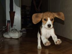 According to the AKC, beagle's ears should almost reach the tip of their nose. I think this baby qualifies!: Flying Beagle, Adorable Dogs, Adorable Animals, Pets Cute Animals, Floppy Ears, Beagle S, Baby, Dogs Beagles, Beagle Ears