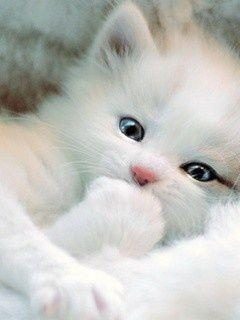 : Animals, Kitty Cat, Sweet, Pet, White Cats, Kitty Kitty, White Kittens