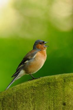 Are you hoping to see chaffinches during your #RSPB Big Garden #Birdwatch?: Birds Ii, Birds Bird Houses, Aves Birds, Birds I Ve, Beautiful Birds, Animals Birds, Singing Chaffinch, Chaffinch Garden