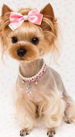 Awwww....   This is for You Gina Franklin Price... Isnt this ADORABLE: Dogs, Puppy Love, Yorkshire Terrier, Pet, Female Yorkie Haircut, Girly Dog Collar, Animal