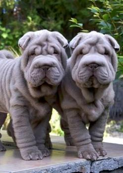 Awwwwwww so adorable   ...........click here to find out more     http://googydog.com: Animals, Dogs, Shar Pei Dog, Sharpei Puppies, Pet, Shar Pei Puppies, Puppy