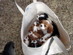 Bag. of. Puppies.: King Charles, Animals, Puppies, Dogs, Puppys, Cavalier King, Bags