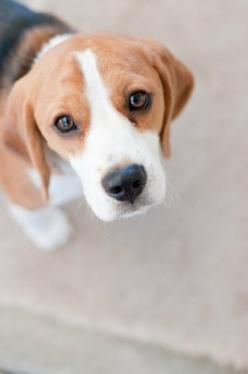 Beagles are the most amazing beings in the world. If you have never lived with a beagle, you just can't understand <3 <3 <3: Beagles Dog, Beagles Puppies, Shmeagle Beagles, Loveeee Beagles, Beagles ️, Beagle Dog, Beagles Melt, Beagles Love, B