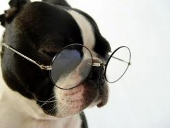 boston: Animals, Dogs, Glasses, Bostonterriers, Pet, Boston Terriers