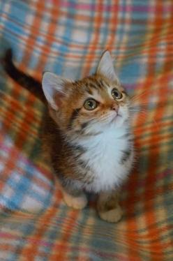 cat & plaid, two things I love: Kitty Cats, Things I Love, Sweet, Baby Cats, Cute Kittens, Animal