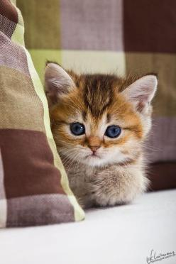 Cat Fact: Cats have a longer-term memory than dogs, especially when they learn by actually doing rather than simply seeing.: Kitty Cats, Animals, Sweet, Pet, Kitty Kitty, Adorable, Baby, Kittens