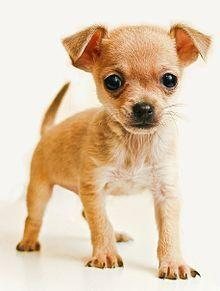 Chihuahua: Animals, Dogs, Chihuahuas, Chihuahua Puppies, Pet, Puppys, Baby