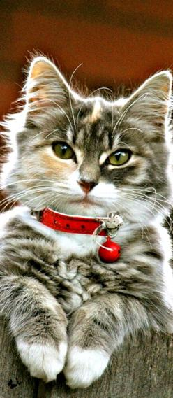 Christmas kitty...: Kitty Cats, Beautiful Cat, Cute Cat, Chat, Feline, Adorable Cats, Cats Kittens