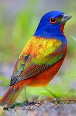 : Colourful Bird, Buntings, Beautiful Birds, Ave, Animal