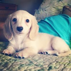 Community Post: Why Dachshund Puppies Should Be Your New Favorite Puppies: Dogs, Dachshund Puppies, Favorite Puppies, Pet, Favoritepuppies, Puppys, Doxies, Animal