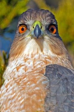 Cooper's Hawk - We had one of these beauties land on our fence just 15' from the house. Wow are they big.: Eagles Raptors, Animal Beauty, Beautiful Birds, Cooper S Hawks, Birds Nests Eggs, Eagles Owls Hawks, Photo, Eagle Hawks