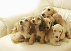 cream doxies - OMG, just when I think I want a chocolate and tan, I see this picture and how cute are they.: Puppies, Animals, Dogs, Dachshund, Pets, Doxie, Puppys, Families