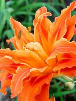 Double day lily: Daylilies, Flowers Plants, Pretty Flowers, Beautiful Flowers, Day Lilies, Flowers Garden