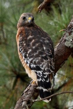 Falcon | Flickr - Photo Sharing!: Majestic Hawks, Hawk Birdsofprey, Eagles Hawk Kestrel Falcons, Nature Photos, Red Shouldered Hawk, Beautiful Birdies, Prey Hawks, Hawk Feather Tattoo