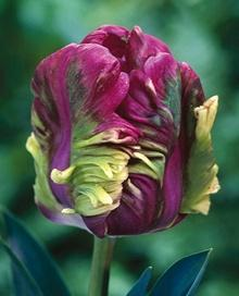 Fall bulb catalogs are starting to arrive, with cool offerings like this Rai Purple Tulip. Maybe we need a new board for Bulbs and Seeds?: Parrot Tulips, Purple Tulips, Parrots, Tulip Rai, Rai Parrot, Rai Purple, Rai Tulip, Flowers, Garden