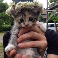 flower crown kitten with the sweetest eyes in all the land.: Cats, Animals, Kitty Cat, Flower Crowns, Pet, Baby Animal, Flowercrown, Kittens