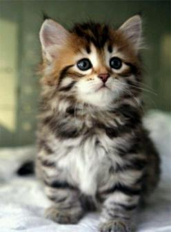 Fluffy Adorable Kitten: Cats, Kitty Cat, Animals, Sweet, Baby, Cute Kittens