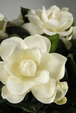 ~~Gardenias | Intensely fragrant white blossoms contrast beautifully with shiny, leathery dark green leaves. Plant them high (like azaleas and rhododendrons) and don't let them be crowded by other plants or competing roots. Gardenias do well in large pots