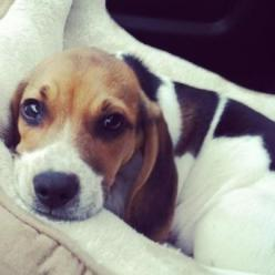 Here's a picture of my little beagle Banjo, hope his sweet face brings a smile to your's :): Pumpkin Face, Sweet Beagles, Beagles Pictures, Baby Beagle, Super Sweet, Baby Boy, Animal