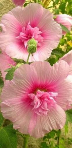 HOLLYHOCKS - 1) Full sun to partial shade. 2) Rich, well drained soil. 3) Biennial, but establish a stand of hollyhocks & they'll reseed each year. 4) Water from below. 5) Height - around 8 ft. 6) Attracts butterflies & hummingbirds: Pink Flow