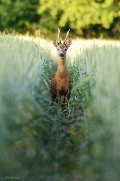 How beautiful! Of course, animals are the ultimate inhabitants. Photo by Julia Kauer: Photos, Animals, Nature, Beautiful, Creatures, Wildlife, Photography, Deer