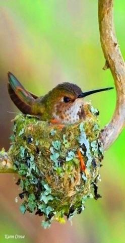 Humming Bird Nest Sitting http://media-cache-ak0.pinimg.com/originals/c0/72/e0/c072e04e411c8492ca59fe2fad4b19a5.jpg: Humming Birds, Nesting Beautiful, Beautiful Birds, Hummingbirds, Animal, Hummingbird Nesting