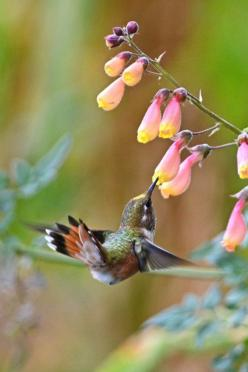 Hummingbird: Animals, Humming Birds, Hummingbird, Humming-Bird, Beautiful Birds, Flower, Hummingbirds, Humming Bird