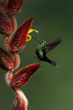 "Hummingbird ~ Miks' Pics ""Fowl Feathered Friends lV"" board @ http://www.pinterest.com/msmgish/fowl-feathered-friends-lv/: Humming Birds, Animals, Yehudi Hernandez, Beautiful Birds, Photo, Flower, Hummingbirds, Hummer"