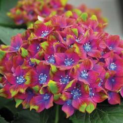 Hydrangea macrophylla 'Glam Rock' (Horwack) - Shrubs & Roses - Thompson & Morgan  colorful flowers, gardening, landscaping,: Flowers, Glam Rock, Hydrangeas