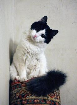 I don't particularly like cats but he is beautiful: Black And White Cat, Kitty Cats, Sweet, Beautiful Cats, White Cats, Kitty Kitty, Black And White Kitten, Fluffy Cat, Animal