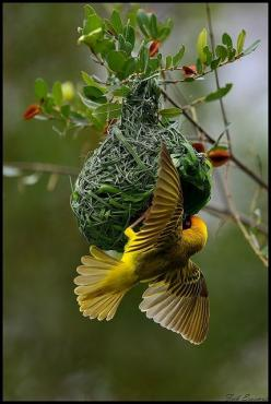 janetmillslove:  followthewestwind: moment love. Wild Fauna Love: Animals, Nature, Weaverbird, Beautiful Birds, Photo