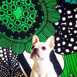 @KiitosMarimekko: This French bulldog is posing adorably in front of the siirtolapuutarha print! Available at http://kiitosmarimekko.com/products/siirtolapuutarha-fabric-blue-green: Bulldogs Australia, The Frenchies, Fabric Ideas, French Bulldogs, Kiitosm