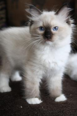 mom...please?- Super cute seal point mitted Ragdoll kitten: Cats Cats, Ragdoll Cats And Kittens, Meow, Pet, Ragdoll Kittens, Ragdollcats, Cats Kittens