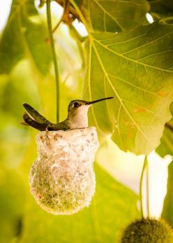 Mother hummingbird sitting on nest. Note that the minute nest is built upon a dangling sycamore fruit: Humming Birds, Nests, Hummingbirds, Hummingbird Nesting, Animal