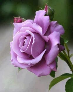 My favorite type of rose <3: Lavender Roses, Color, Sterling Silver, Beautiful Flowers, Pink, Purple Roses, Garden, Beautiful Rose, Silver Rose
