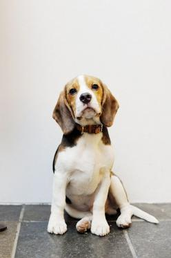 My puppy love: Animals, Dogs, Friends, Beautiful Beagle, Pets, Beagles, Puppy, Beagle Dog, Beagle Pup