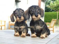 Not usually a fan of the wire-haired, but omg how CUTE!!!♥: Animals, Dogs, Dachshund, Haired Doxie, Puppy