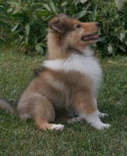 OH MY GOSH I CAN'T RESIST!!!!!!!!!! <3 ! <3 !! <3 !!! <3 <3 ! <3 !!!!!!!!!!!!!!!!!!!!!! BABY COLLIE!!!!!: Baby Collie, Rough Collie, Collie Dog, Puppys, Collie Puppies, Animal