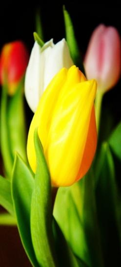 One Yellow Tulip - Yellow tulips used to represent hopeless love but are now associated with cheerfulness and sunshine.: Flores Flowers, Color, Beautiful Flowers, Tulipanes Flores, Beauty, Beautiful Tulips