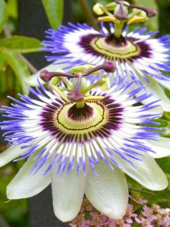 Passion flower for the trellis....<--I've grown these in Iowa even though they seem so tropical. They look like sea anemones: Amazing Flower, Beautiful Flowers, Exotic Flowers, Flowers Garden, Passion Flowers