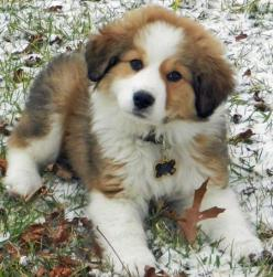 Pyreneese/Bernese mix. A fluff ball of happiness. Loving this one is a no-brainer:) Of course, I love them all!: Pyrenees Bernese, Animals, Puppies, Bernese Mountain Dogs, Great Pyrenees, Future Pets, Puppy, Dog Mixes