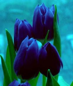 Rare blue tulips: 20Blue 20Tulips, Tulip, Rare Blue, Beautiful Flowers, Tulip Flower, Beautiful Tulips