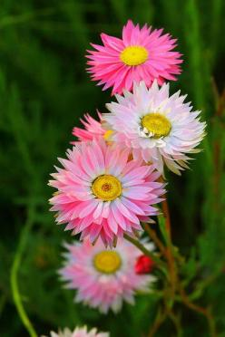 Rhodanthe sp (Paper Daisies) : Pink Flowers, Rhodanthe Sp, Paper Daisies, Sp Paper, Pretty Flowers, Beautiful Flowers, Flowers Garden, Straw Flower