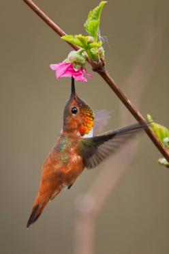 Rufous humming bird. Love these lil 2 winged guys :): Humming Birds, Winged Guys, Beautiful Hummingbirds, Adored Hummingbirds, Hummingbirds Colibríes, Birds Fowl Feathers, Horses Birds Animals, Birds Hummingbirds, Hummer