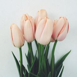 simply-divine-creation: Valley Brink Road: Color, Pale Pink, Flower Power, Bloom, Flowers, Floral, Pink Tulips, Flower