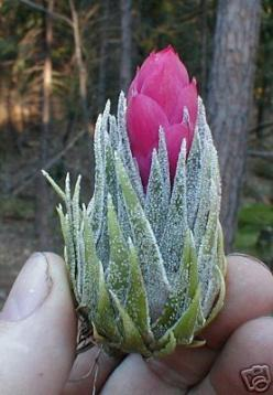 Sprengeliana - Air Plant. I have never seen one before. Absolutely stunning.: Cactus Succulent, Succulent, Tillandsia Airplants, Plants Bromeliad, Air Plants, Houseplants, Bromeliads Tillandsias, Suculents Airplants, Flower